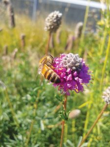 Photo of Prairie Clover from Native Plants for the Short Season Yard by Lyndon Penner